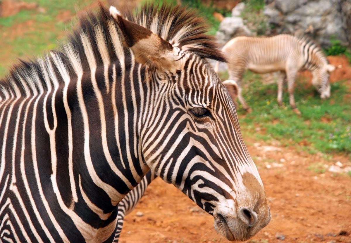 images gratuites faune zoo afrique savane z bre animaux rayures safari cheval comme le. Black Bedroom Furniture Sets. Home Design Ideas