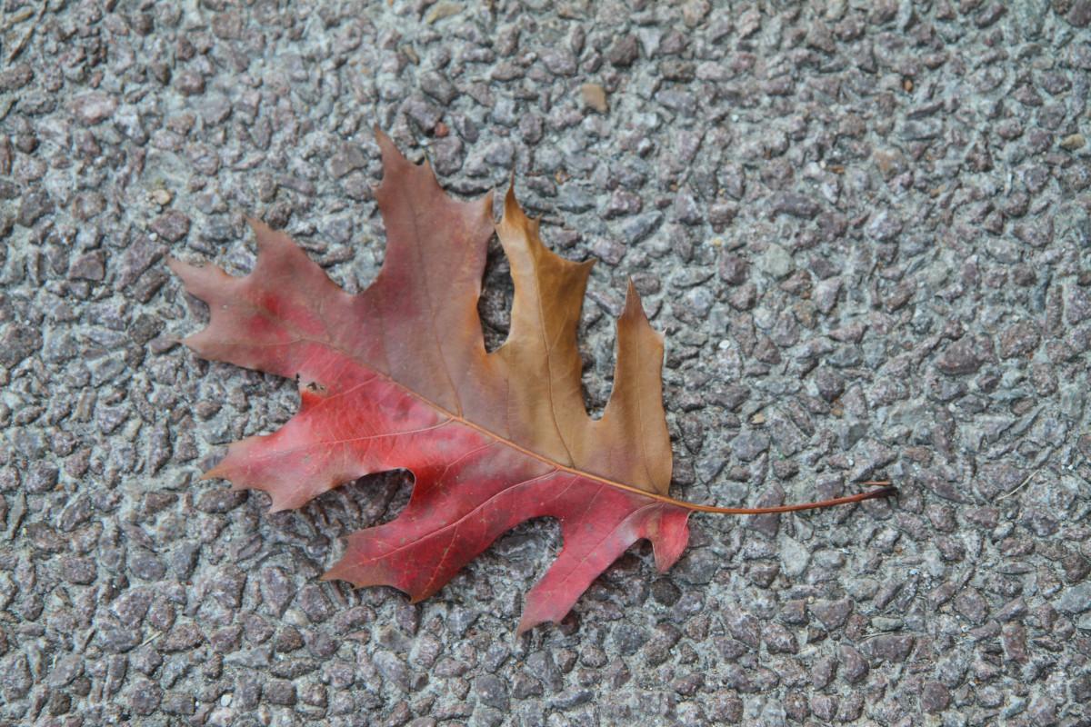 Images gratuites arbre plante fleur feuillage rouge for Plante feuille rouge