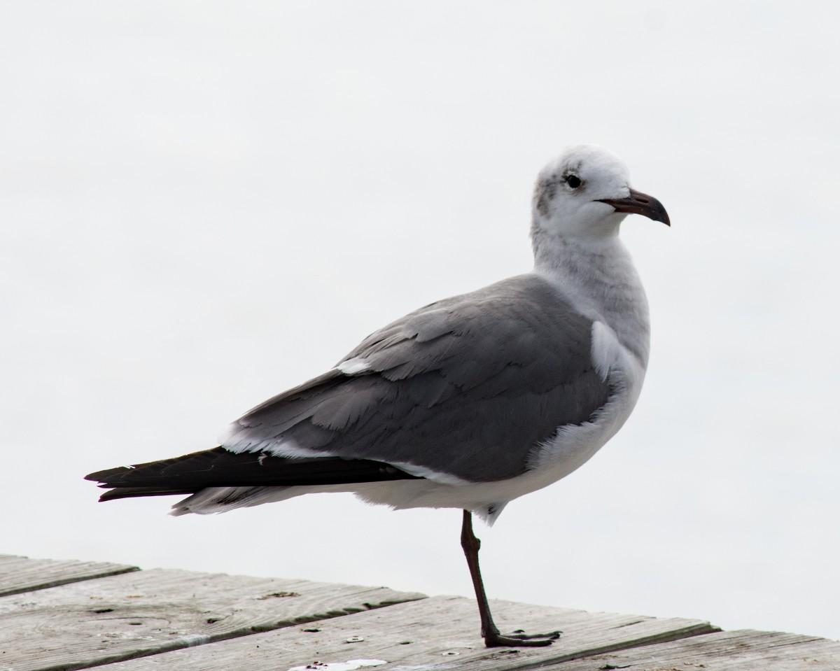 Fotos Gratis : Pájaro, Ala, En Blanco Y Negro, Ave Marina