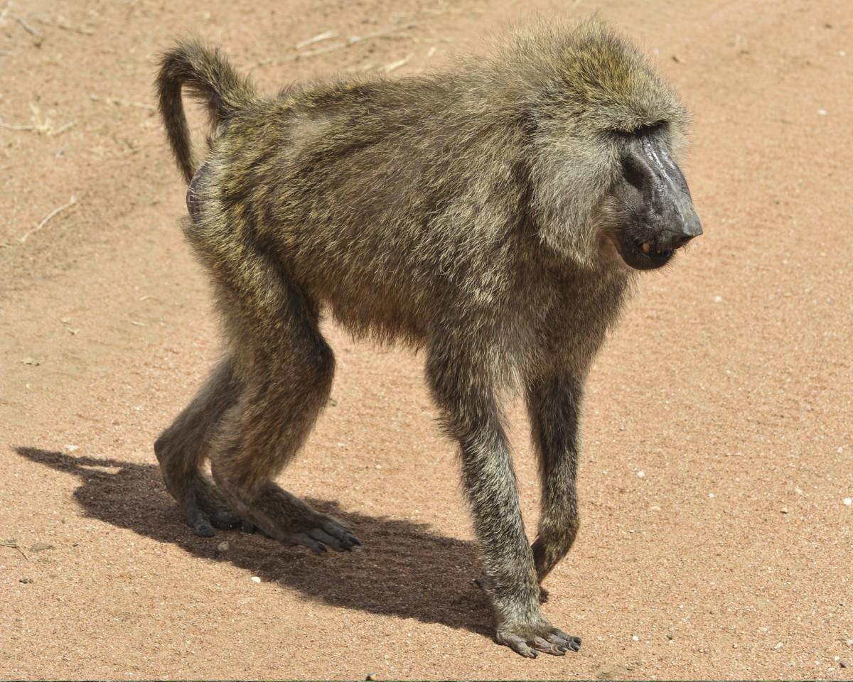 príroda chôdza zver a rastlinstvo Afrika cicavec fauna primát Savannah pavián stavovcov tanzania serengeti makak opice Starého sveta