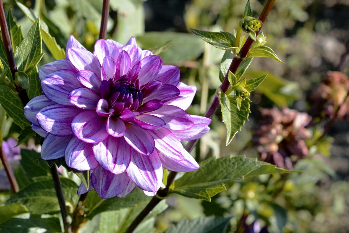 kostenlose foto natur blume lila knoblauch makro botanik garten flora blumen violett. Black Bedroom Furniture Sets. Home Design Ideas