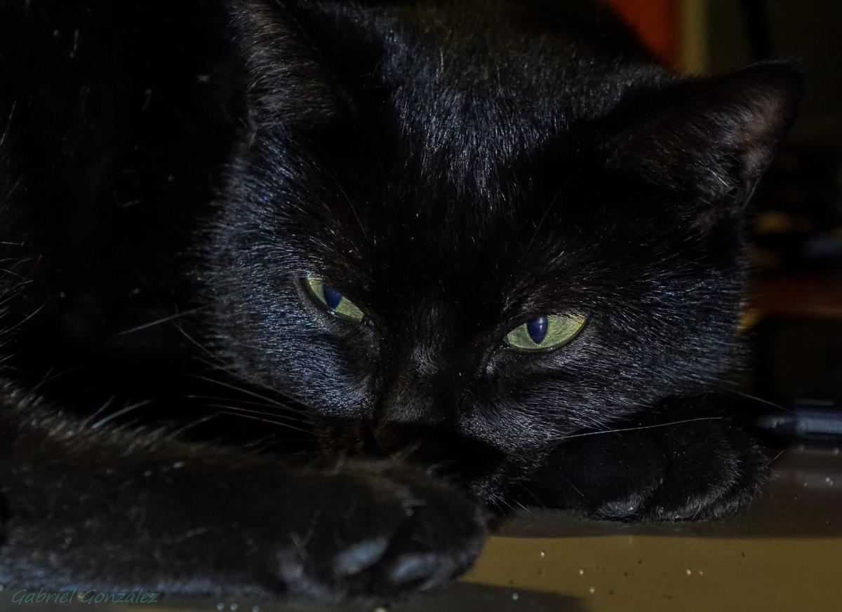 Unduh 93+  Gambar Kucing Hitam Keren Paling Keren HD
