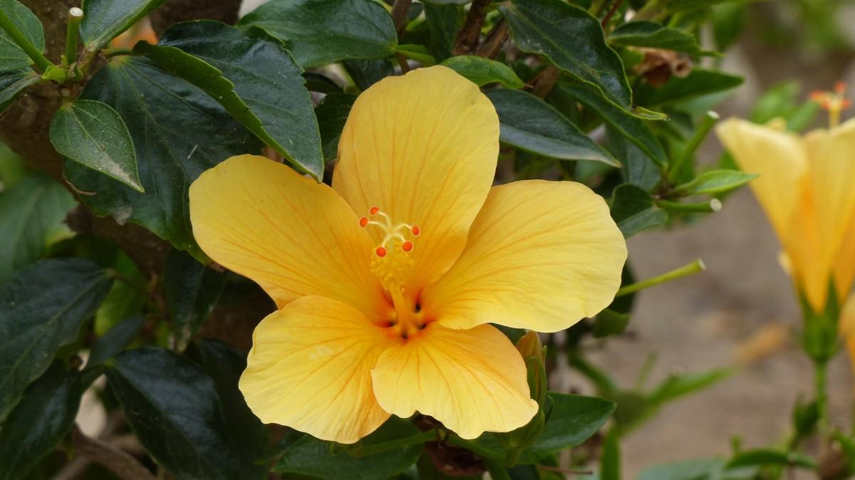 Free images petal botany flora malvales macro photography plant flower botany yellow flora flowers izmirmasajfo