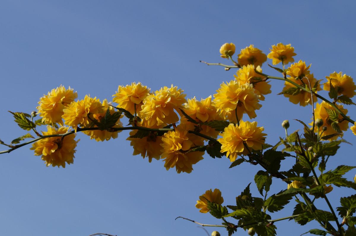 Images gratuites arbre branche fleur ciel feuille for Plante 5 doigts bahamas