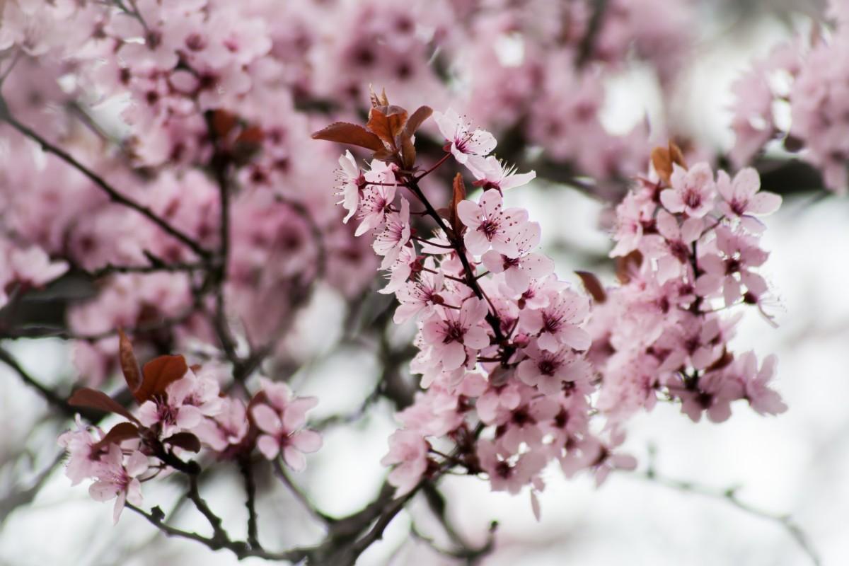 Immagini belle albero natura ramo fiorire frutta for Pianta di ciliegio