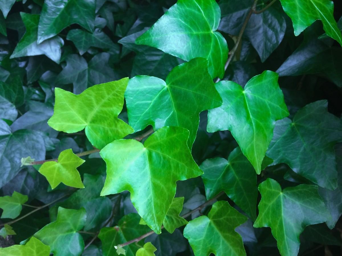 Цветок листья как у плюща фото