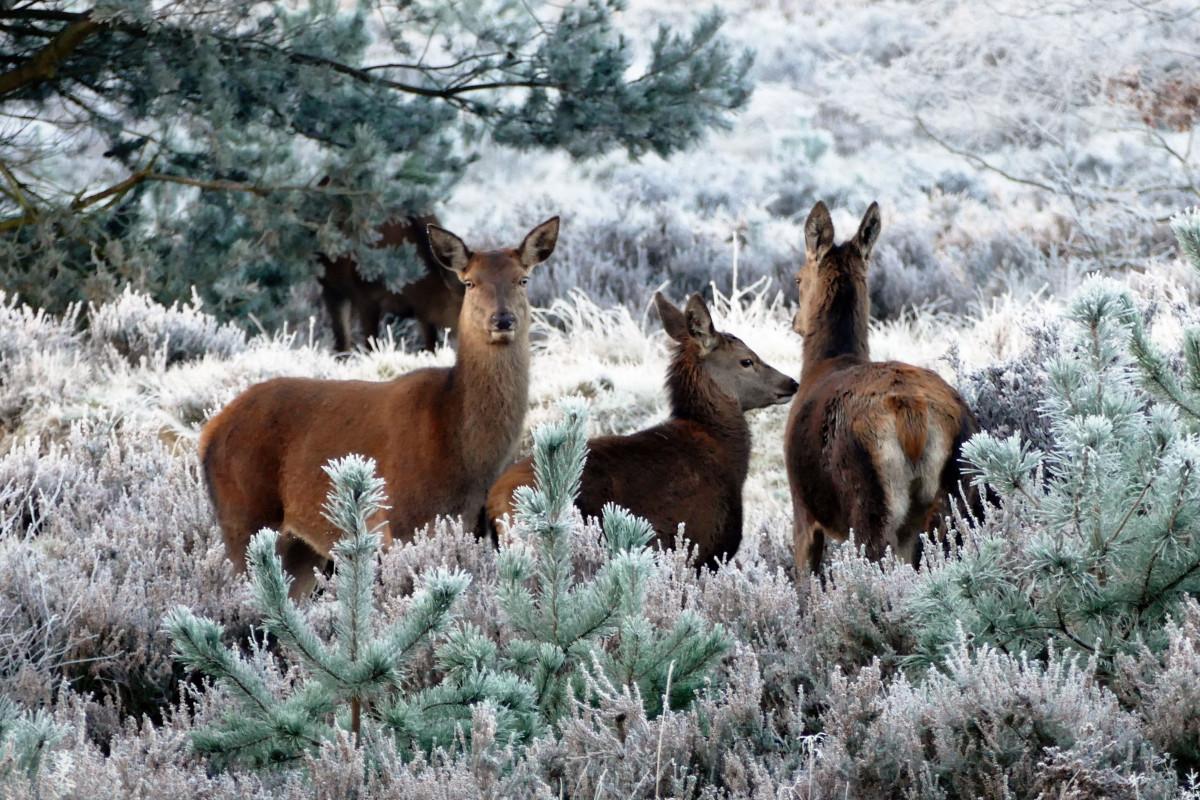 arbre la nature forêt neige hiver mignonne faune sauvage cerf troupeau rouge pâturage mammifère Noël saison faune flocon de neige de fête animaux renne saisonnier vertébré décembre Noël Écosystème chamois