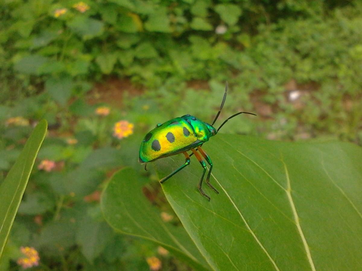 Vihreä Kuoriainen