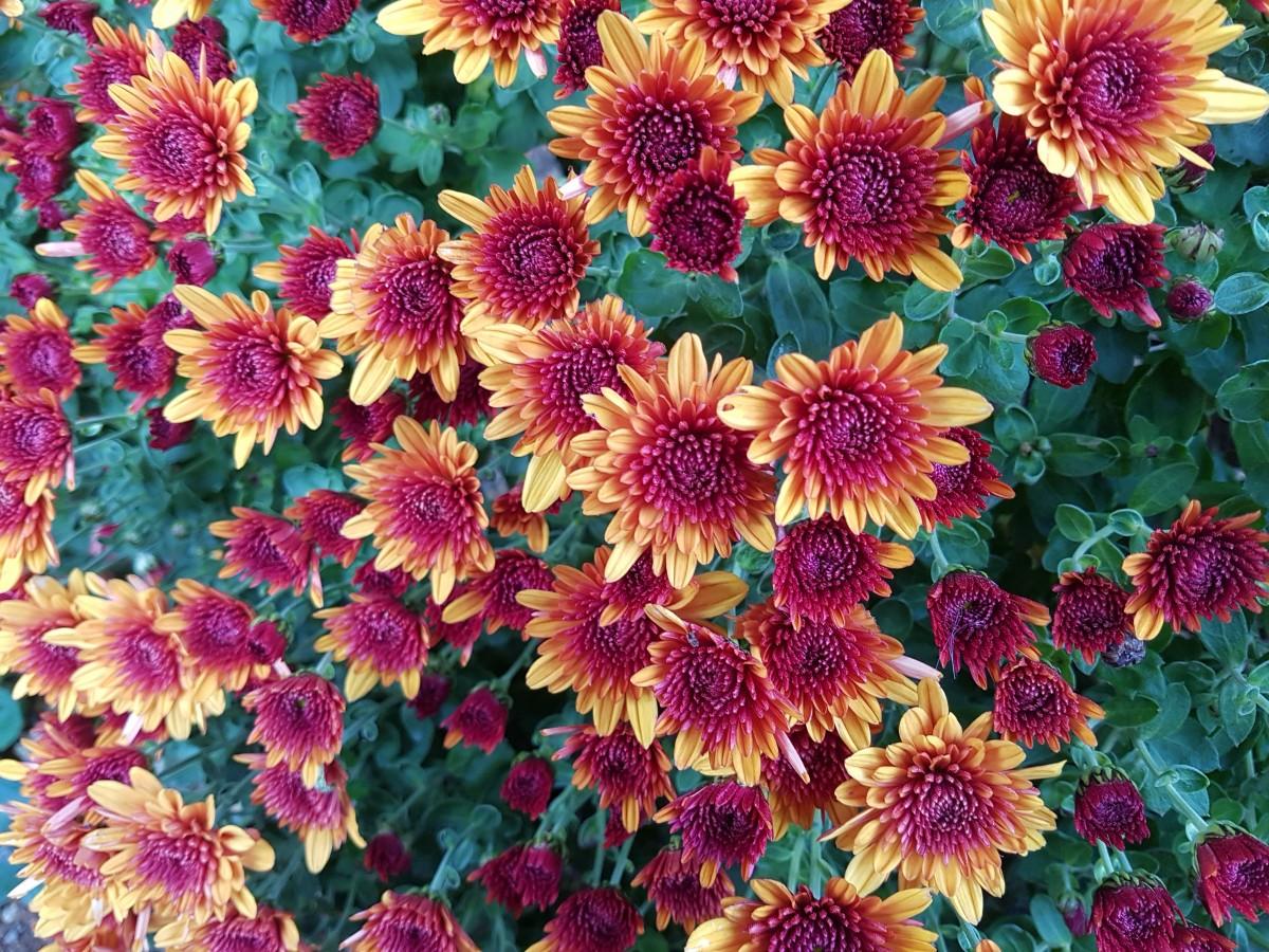 Gambar Menanam Daun Bunga Musim Gugur Botani Flora Bunga