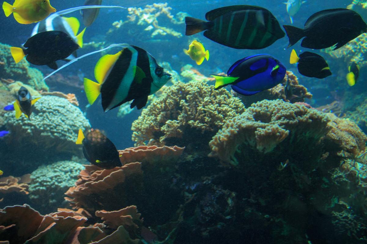 Free images nature ocean animal diving underwater for Blue fish aquarium