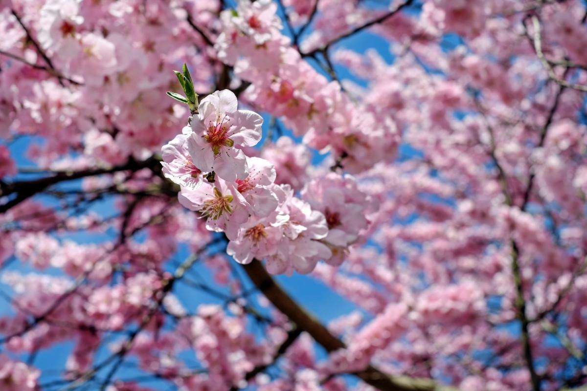 Images gratuites arbre branche p tale printemps - Arbre japonais rose ...