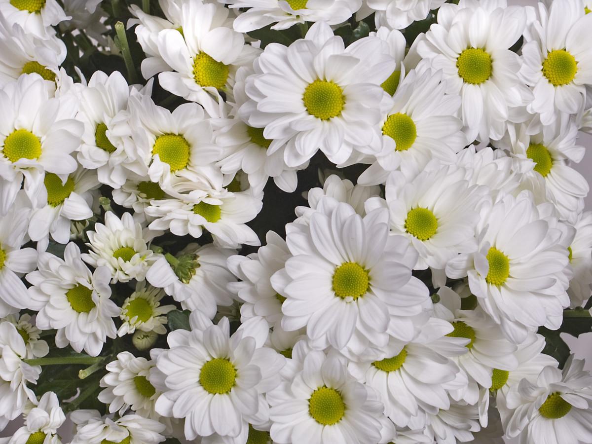 Картинки белые хризантемы