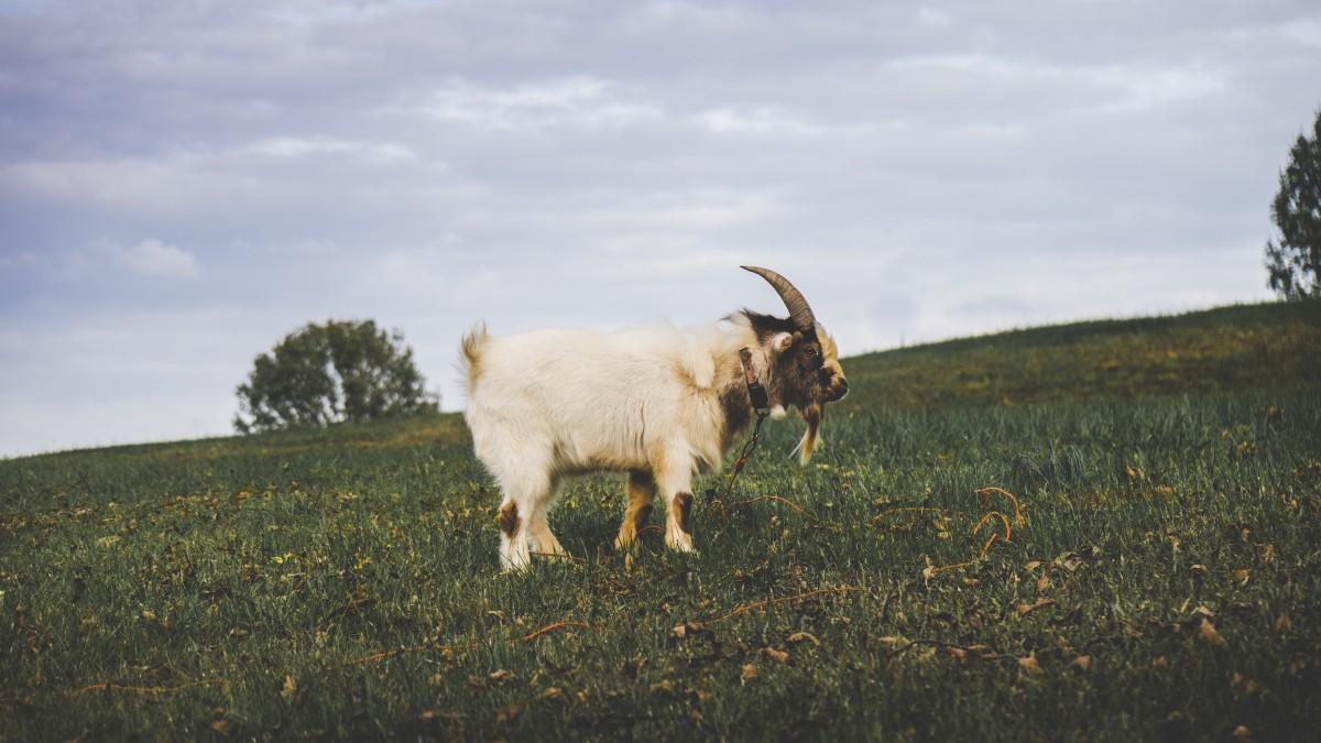 free images grass field farm meadow prairie animal horn