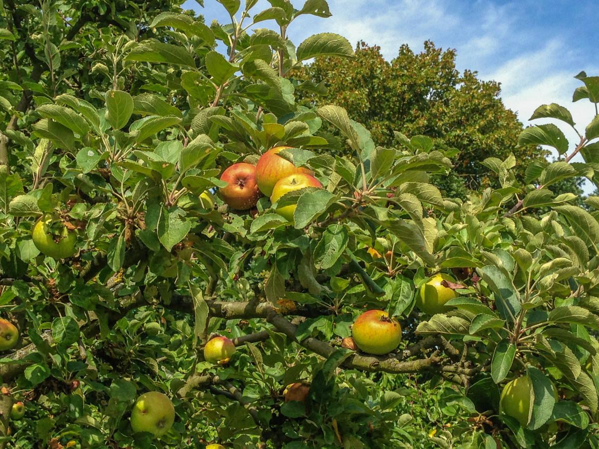 яблоко, дерево, природа, растение, фрукты, цветок