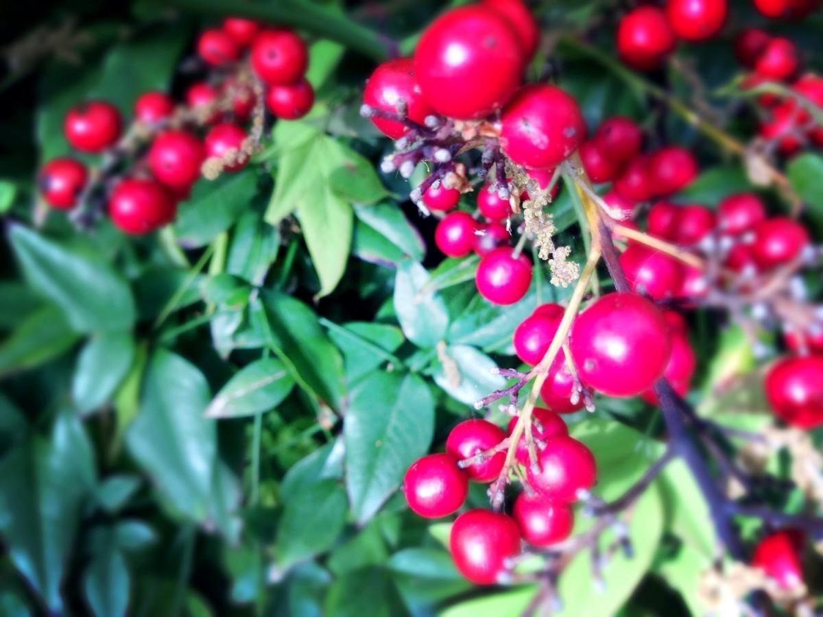 Images gratuites arbre branche fruit fleur aliments rouge produire feuilles - Arbre feuille rouge fruit rouge ...