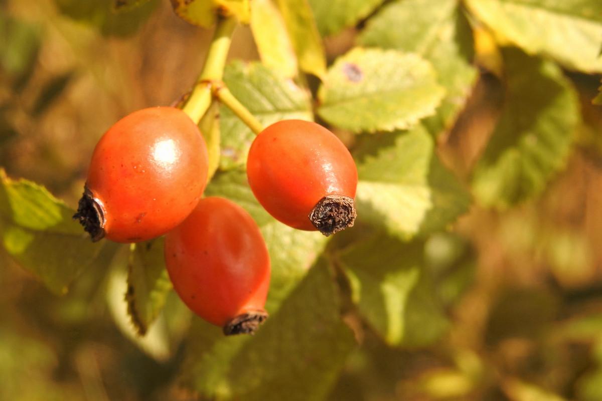 Images gratuites arbre la nature branche fruit baie feuille fleur aliments rouge - Arbre feuille rouge fruit rouge ...