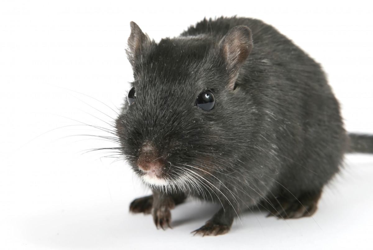 hårete mus indianporno