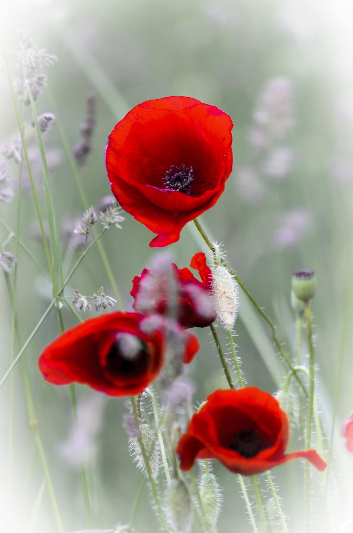 Красивые цветы открытки маки, утро тома