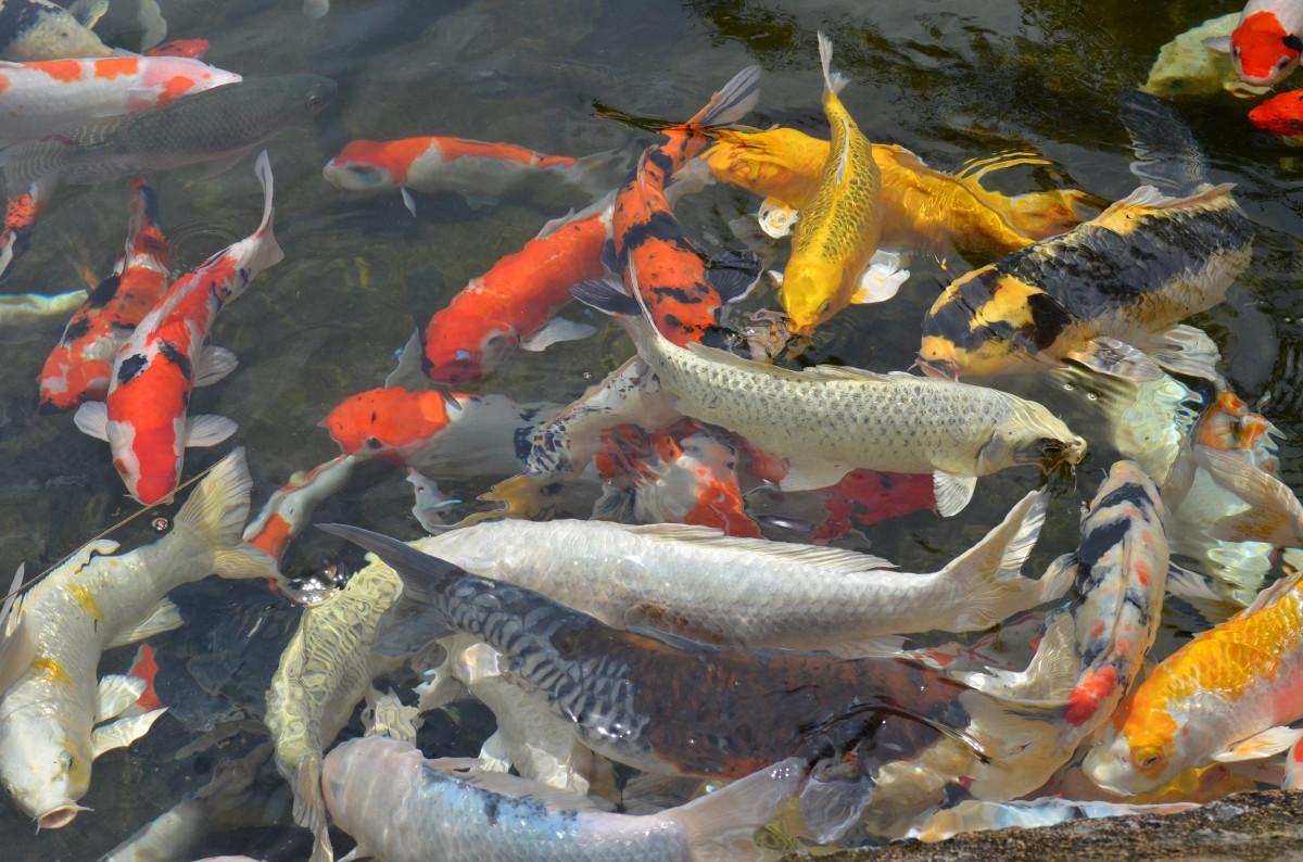 Koi for Ornamental pond fish inc