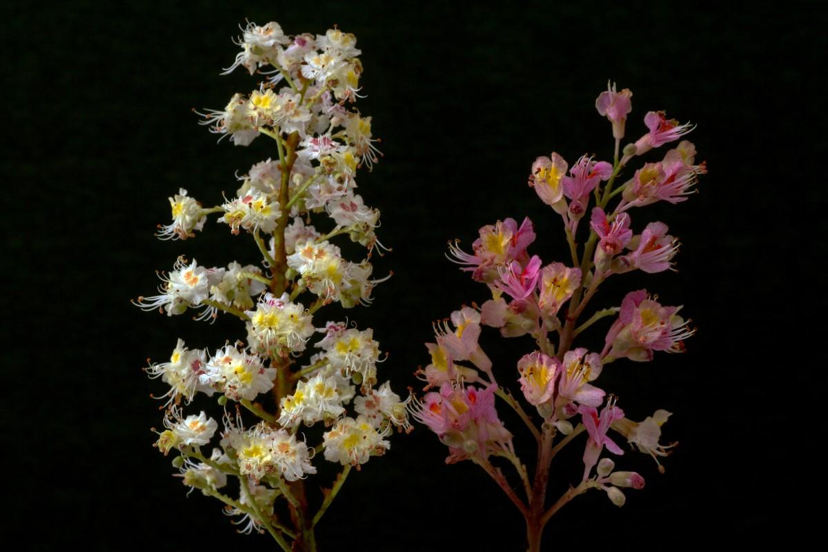 Images gratuites branche fleur blanc floraison pollen printemps rouge botanique flore - Arbuste fleur rouge printemps ...