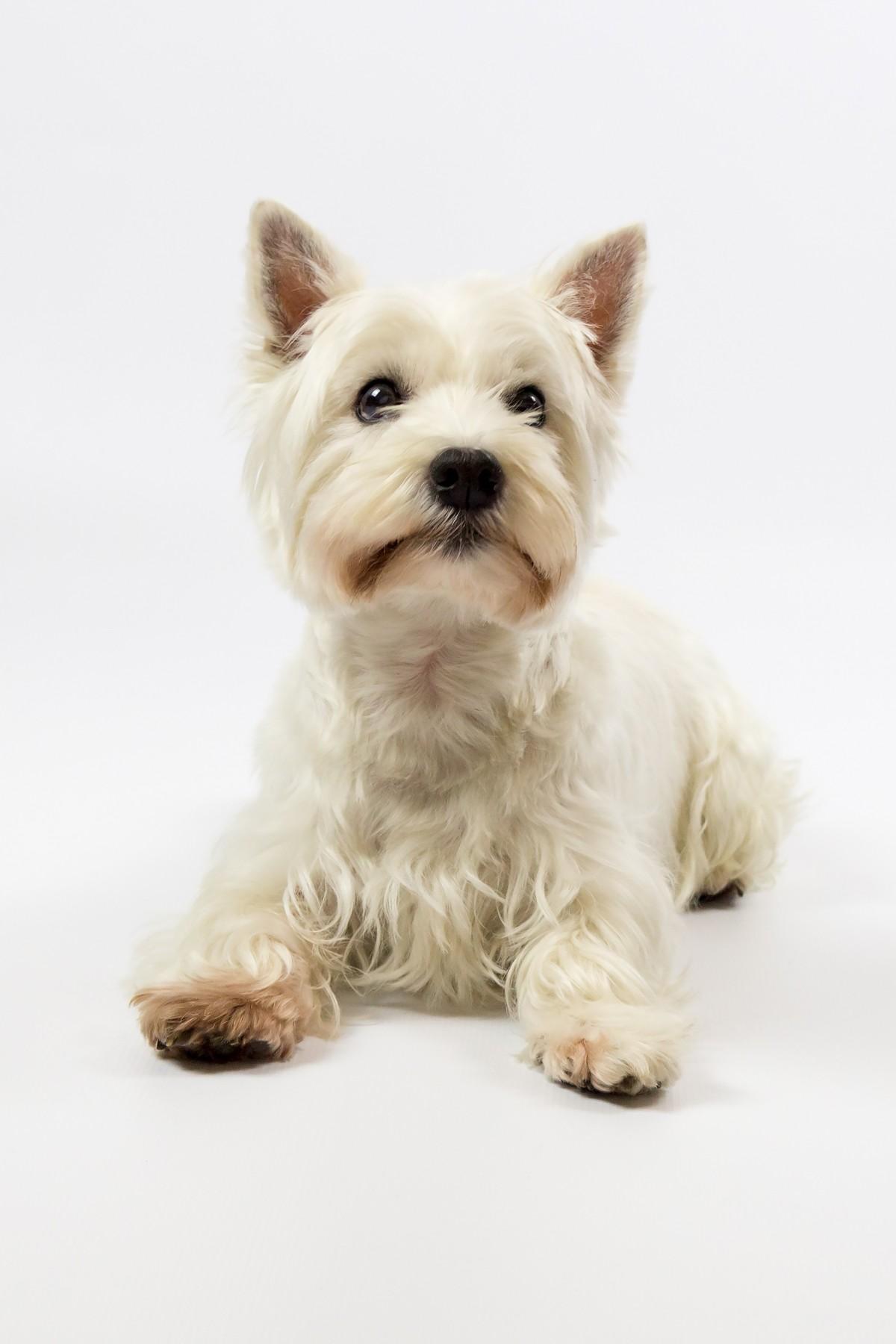 Top Cairn Terrier Ball Adorable Dog - west_highland_terrier_westie_west_highland_white_terrier_terrier_dog_white_pet_pedigree-1208298  Snapshot_43848  .jpg!d