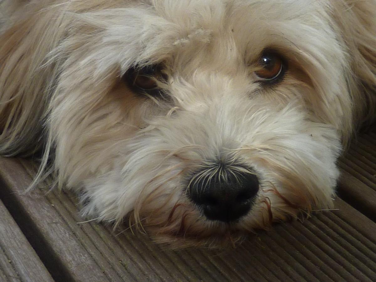 free images   puppy  vertebrate  dog breed  lhasa apso  cavapoo  maltese  cockapoo  havanese