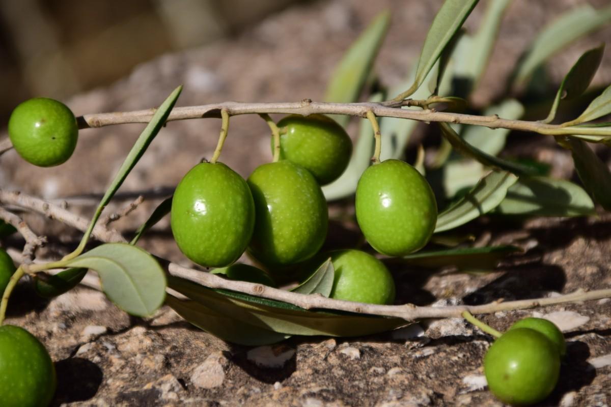 Оливки или маслины в чём разница и польза? Разновидности 36