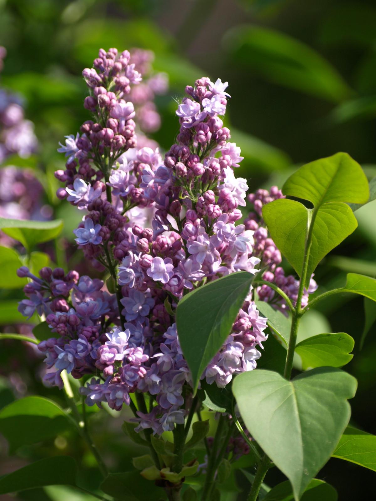 Images gratuites fleur herbe botanique flore fleur for Plante herbe haute
