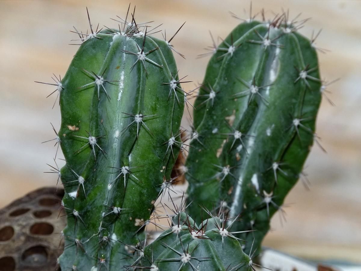 Gratis billeder rken blomst t r botanik flora peru for Tipos de cactus y sus nombres comunes