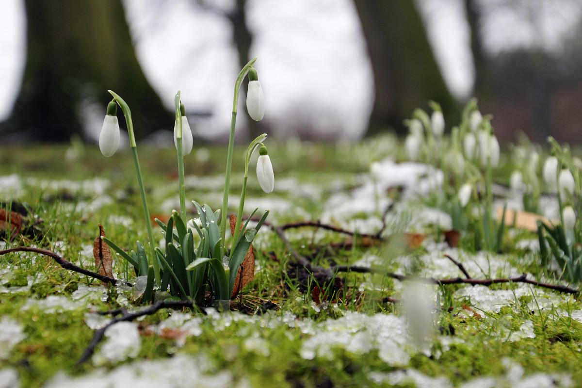 Příroda tráva větev květ sníh zima rostlina trávník louka Slunečním světlem list květ jaro zelená botanika zahrada flóra divoká rostlina zálesí sněženky