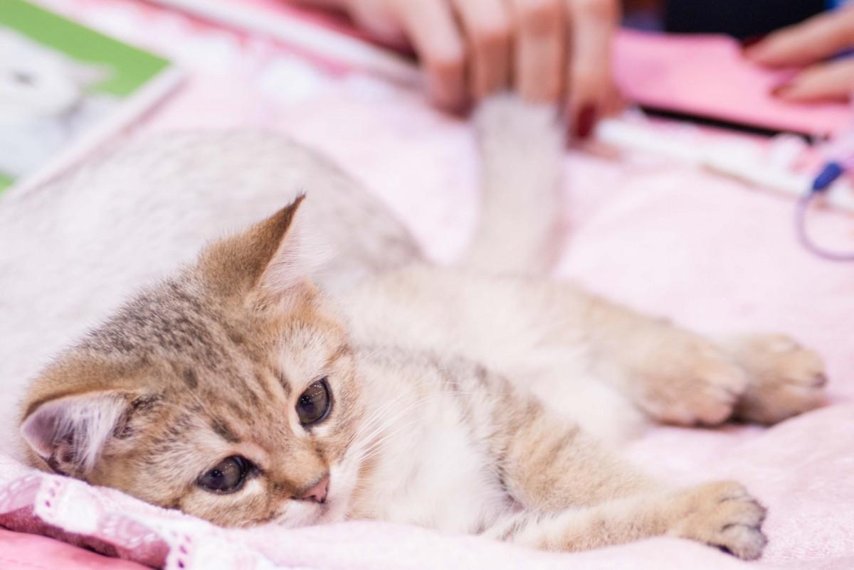 Gambar Anak Kucing Binatang Menyusui Menguap Hidung