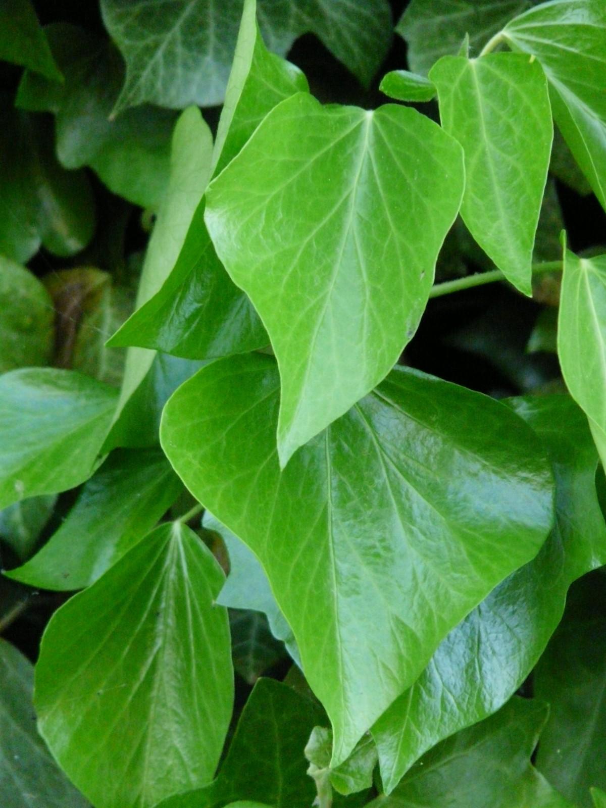 Images gratuites arbre texture feuille fleur mur for Plante 9 feuilles
