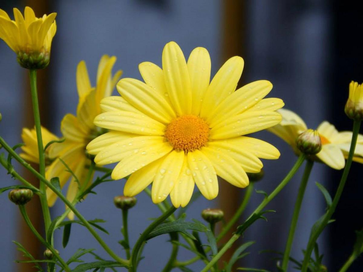 images gratuites la nature fleur p tale floraison t floral marguerite printemps vert. Black Bedroom Furniture Sets. Home Design Ideas