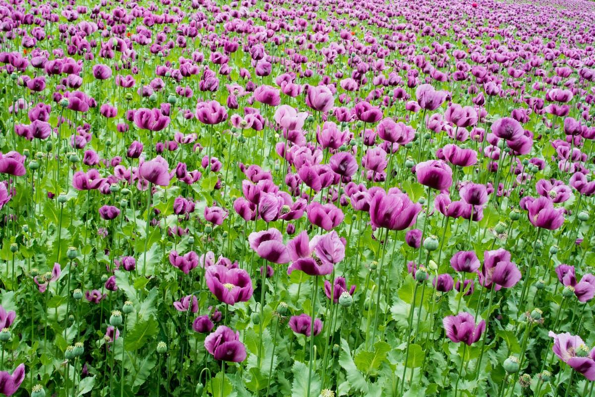 Images gratuites champ prairie fleur fleur sauvage violet coquelicot ambiance plante - Image fleur violette gratuite ...