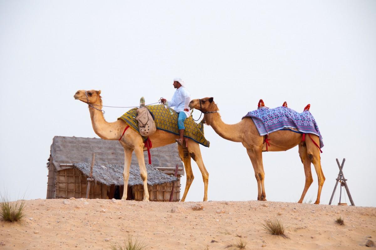 landscape desert camel dubai mammal camels vertebrate sahara natural environment camel like mammal mustang horse arabian camel