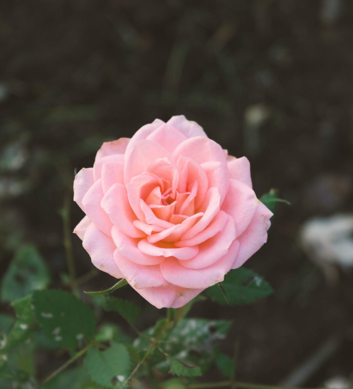 Free Images : Nature, Flower, Petal, Romantic, Flora