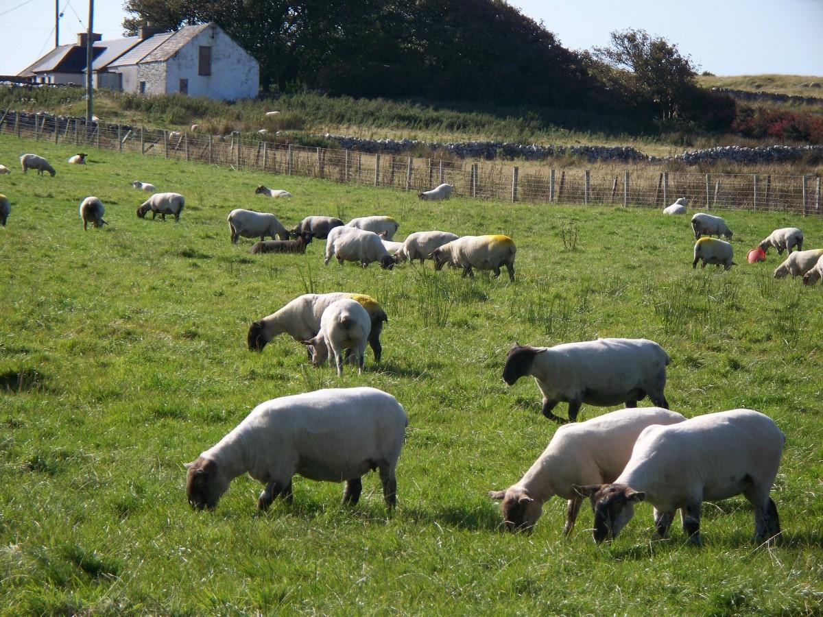 Images gratuites herbe champ ferme prairie campagne - Photos de moutons gratuites ...