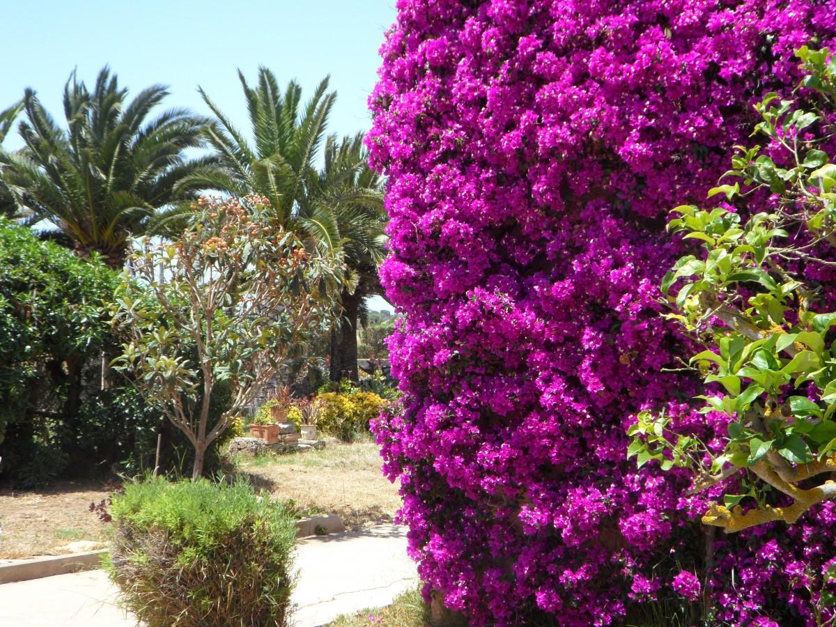 Bougainville Fleur en ce qui concerne images gratuites : arbre, fleur, route, floraison, été, rose