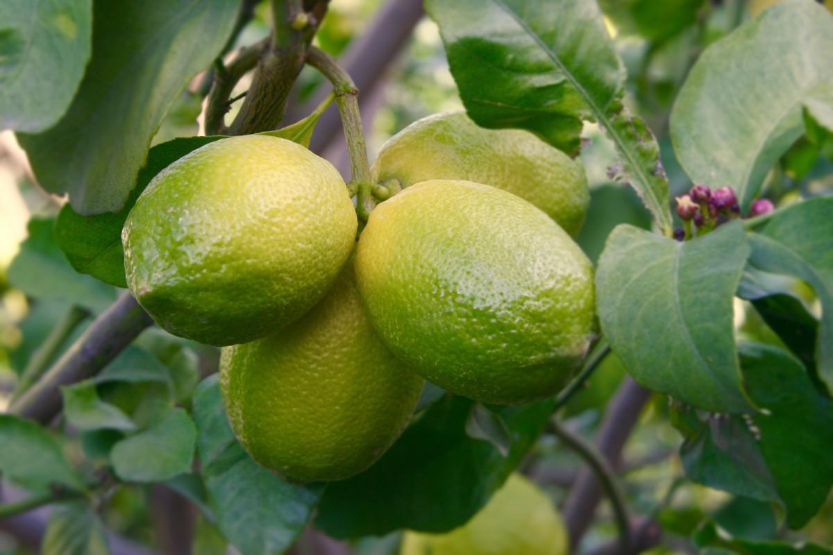 Images gratuites arbre fruit fleur aliments produire cro tre feuilles persistantes - Citronnier feuilles jaunes ...
