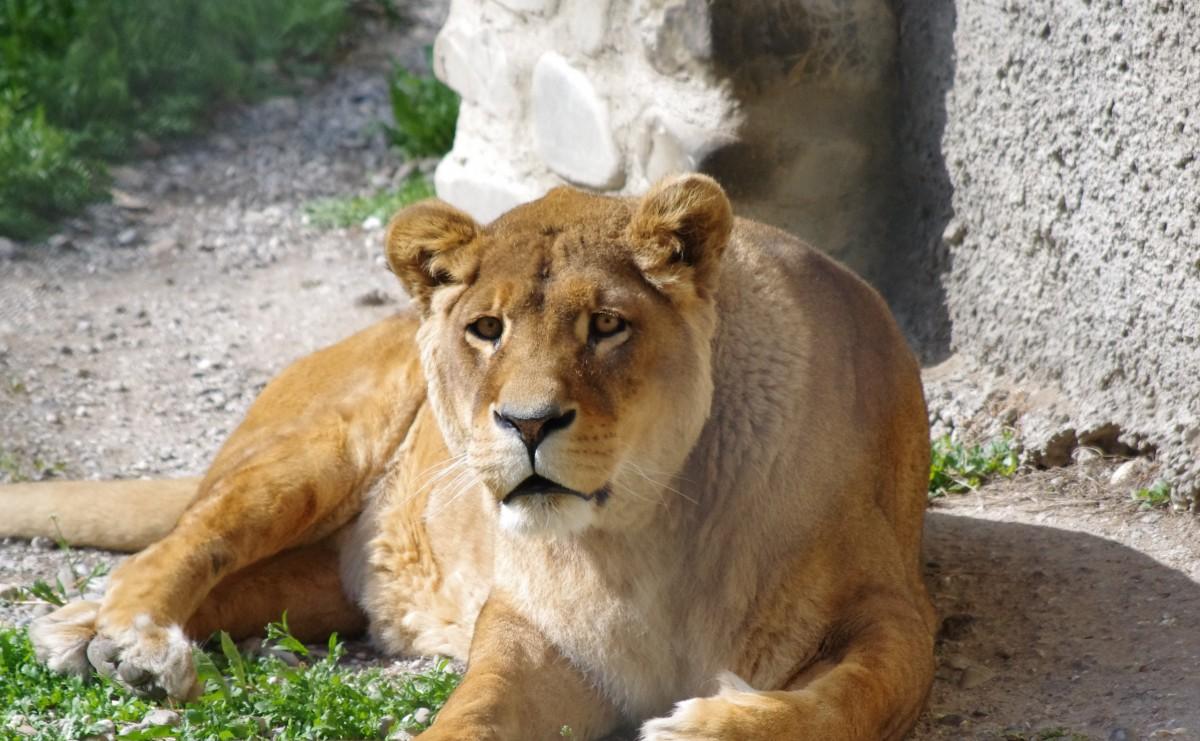 Images gratuites animal femelle faune zoo f lin - Photos de lions gratuites ...