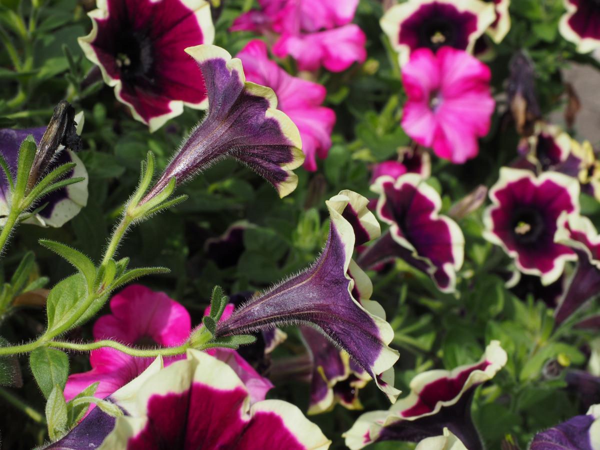 Images gratuites blanc fleur rouge arbuste fleuriste for Plante annuelle