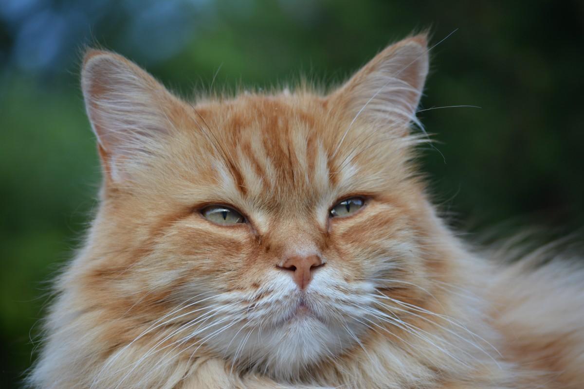 Immagini belle gattino fauna avvicinamento barba for Gatto della foresta norvegese