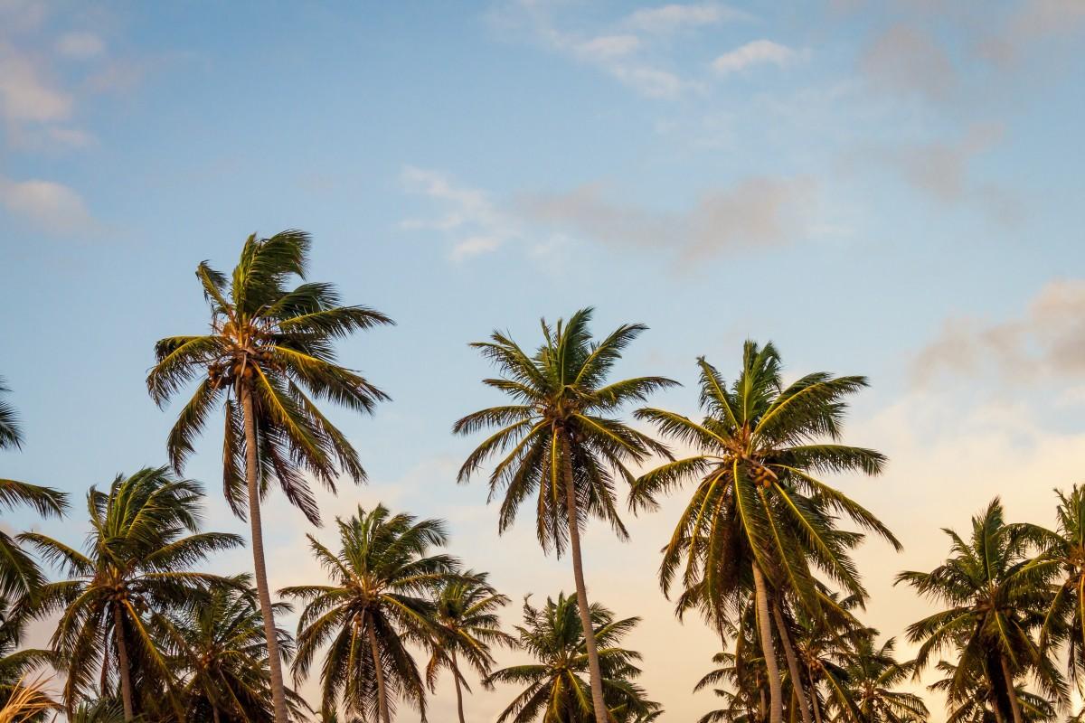 ビーチ 海 海岸 木 工場 空 ヤシの木 花 夏 休暇 ジャングル パラダイス カリブ海 熱帯 開花植物 自然環境 木質植物 陸上植物 アセスメント ヤシの家族 ボラッススフラベリファー