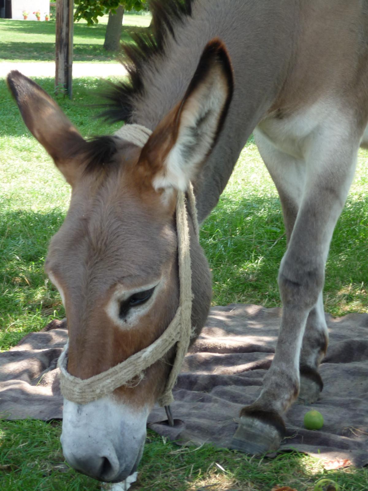Free Images  Wildlife, Pasture, Mane, Fauna, Donkey, Head -8122