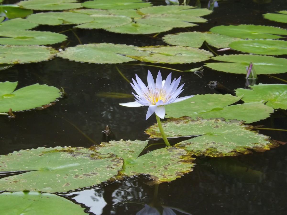 Images gratuites la nature plante feuille fleur p tale tang vert symbole bouddhisme - Fleur de lotus bouddhisme ...