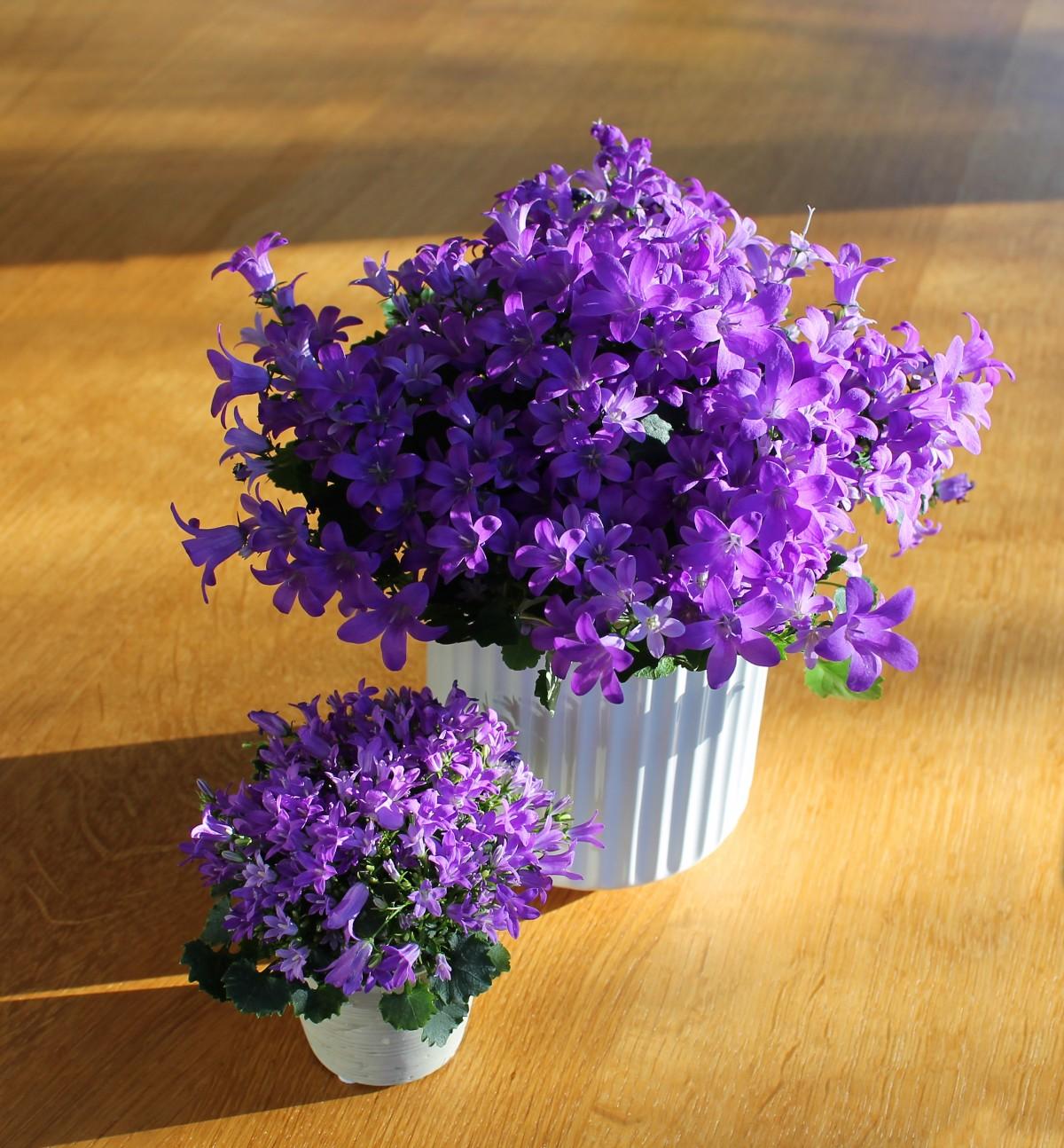 images gratuites fleur violet bleu flore lavande plante en pot la peinture fleurs. Black Bedroom Furniture Sets. Home Design Ideas
