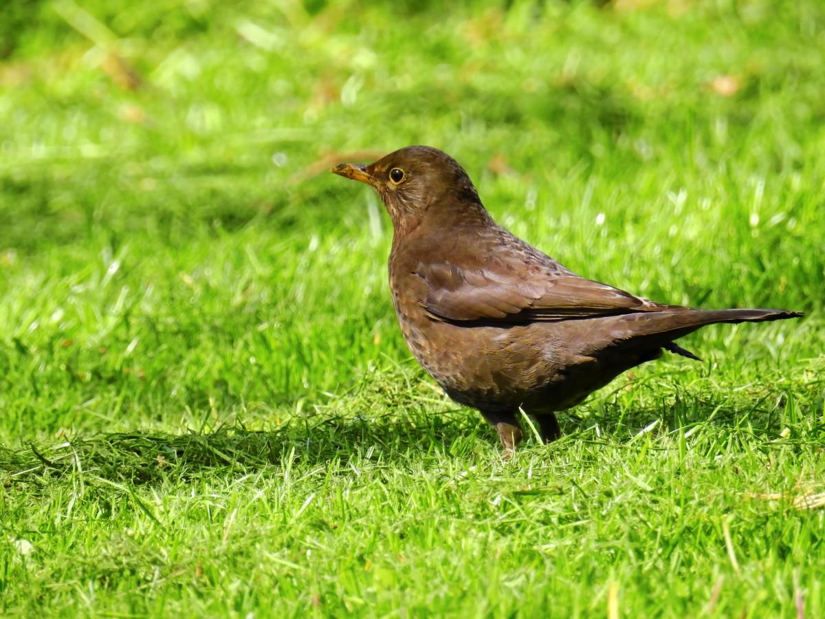 Příroda pták zvíře zvěř a rostlinstvo zobák Černá červenka fauna pěvec obratlovců pěnkava kos skřivan Lejskovití prohlížení pták Emberizidae Cinclidae slavík strnad zahradní