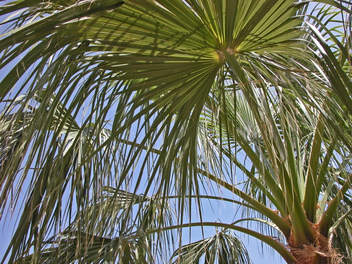 Immagini belle albero ramo foglia fiore palma for Pianta palma