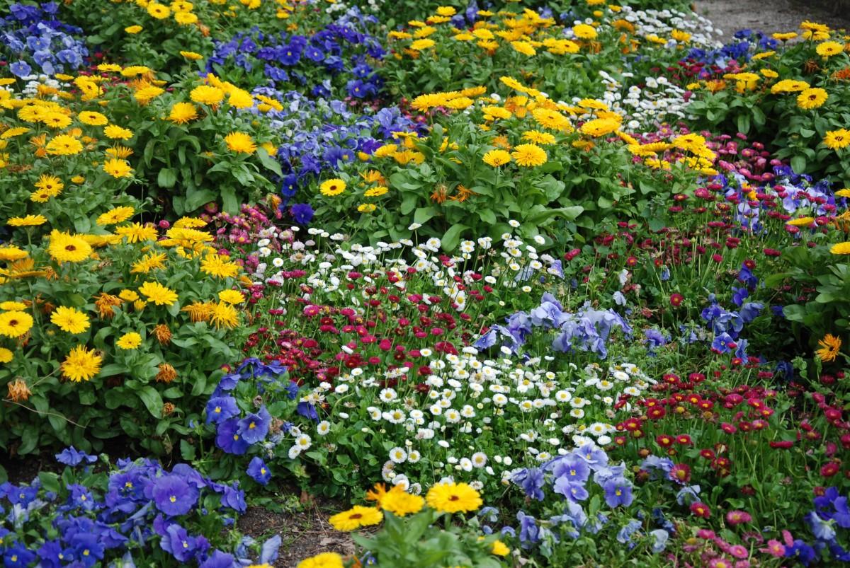 Images gratuites prairie fleur printemps jardin fleur sauvage couverture de sol bonnet - Image fleur violette gratuite ...