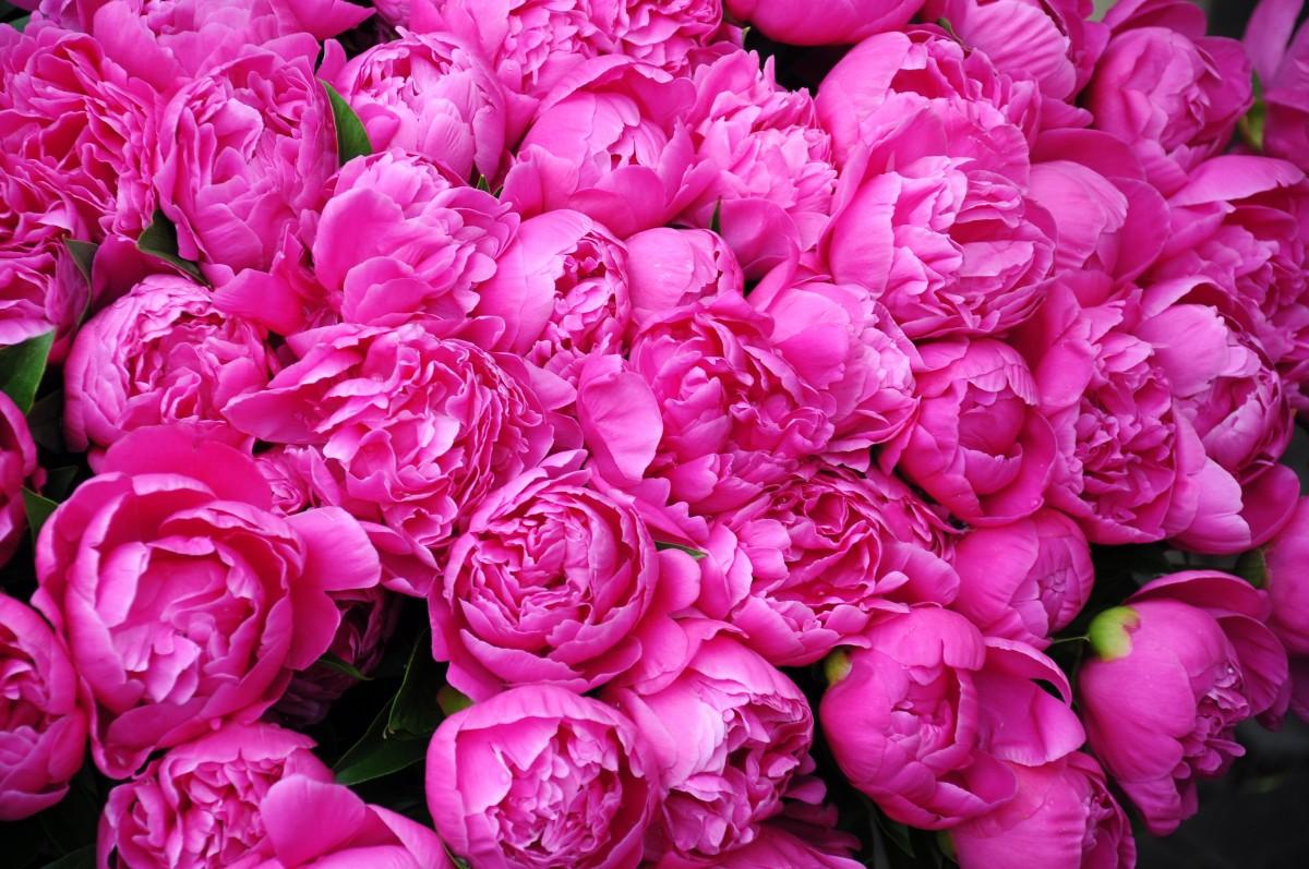 Картинки с розовыми пионами, большой